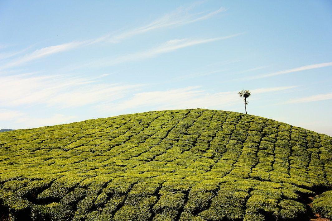 Aceite esencial árbol té